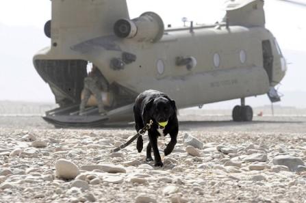 dog7.Australian Department of defense